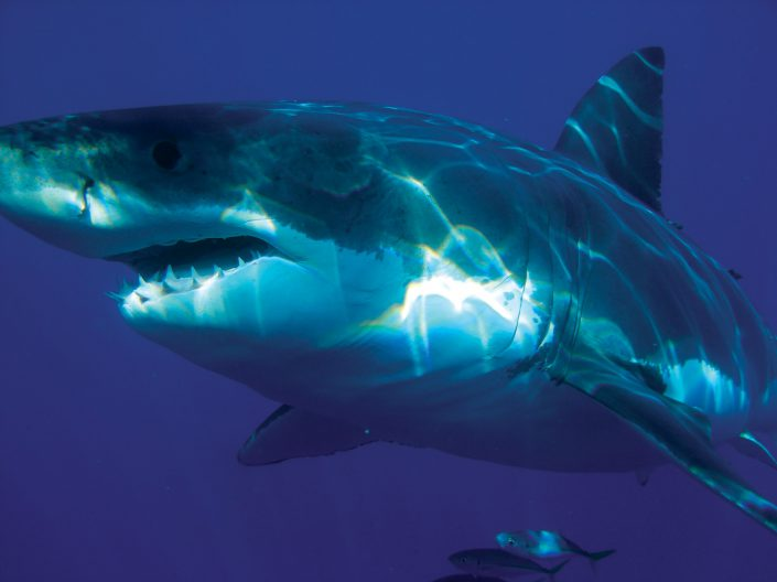 Ocean Dwellers: Norfolk Island's Sharks